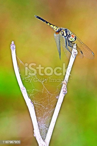 Dragonfly on V shaped branch.