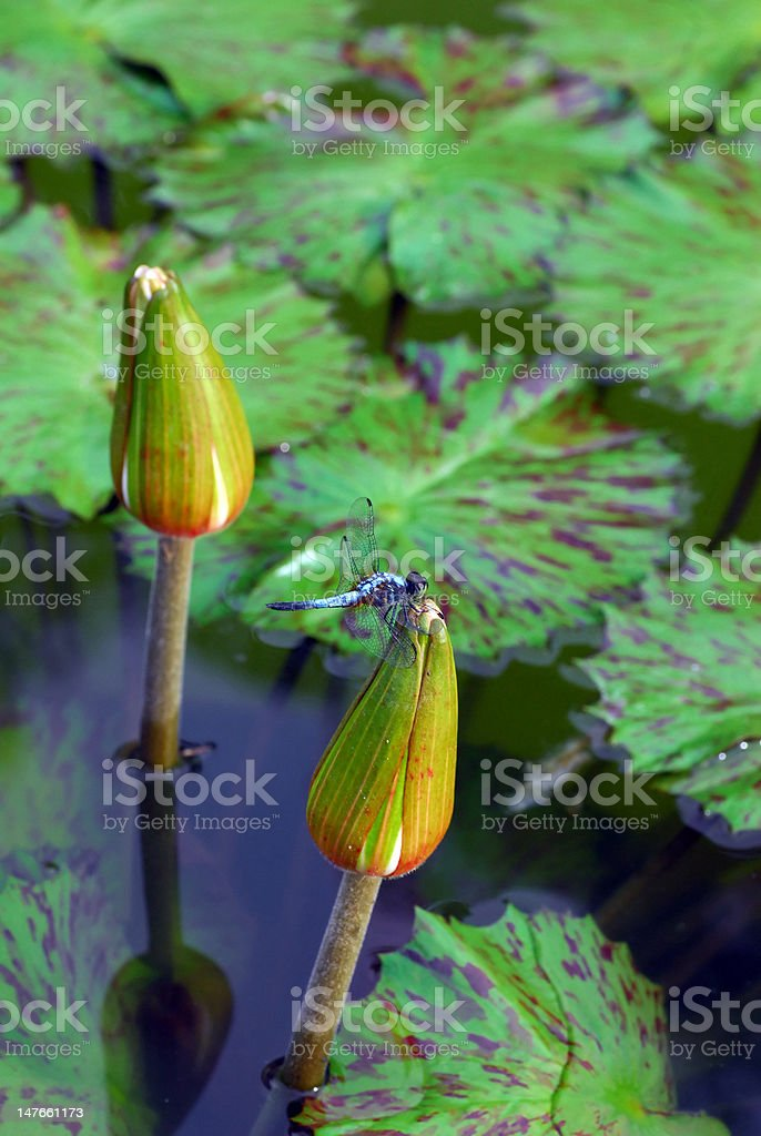 Dragonfly on Water Lily royalty-free stock photo