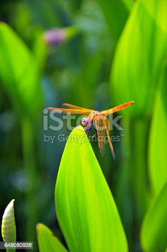 Dragonfly on waterplant