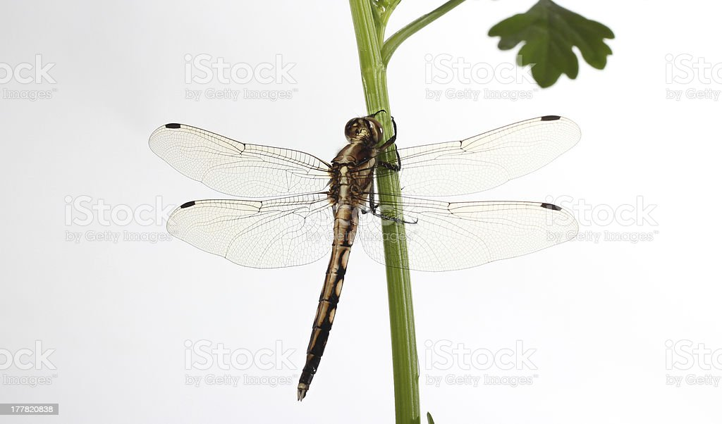 dragonfly on white royalty-free stock photo