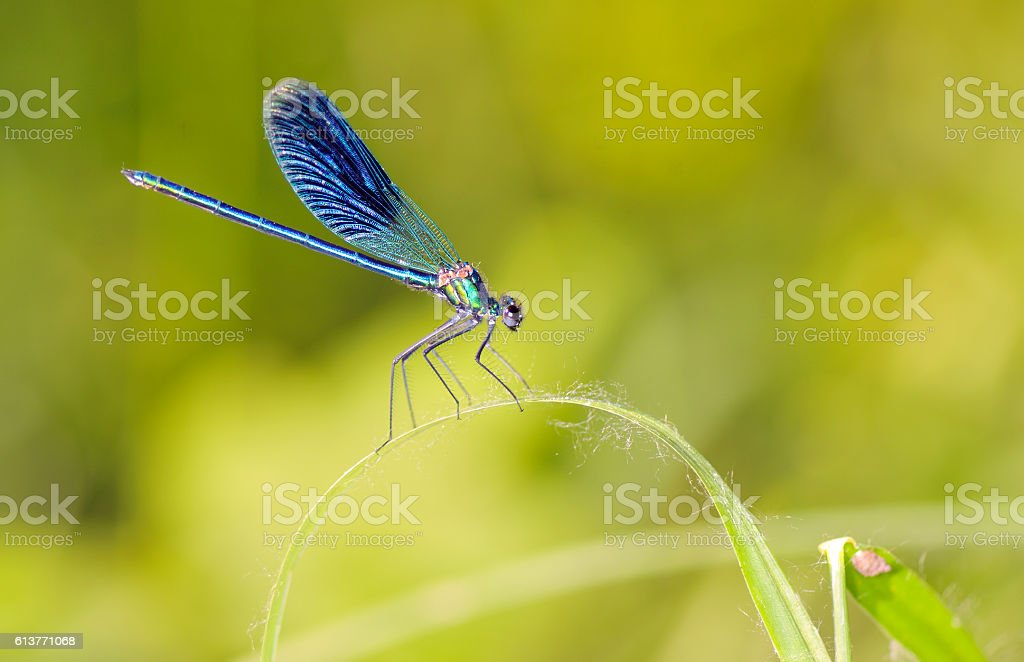 Dragonfly outdoor (coleopteres splendens) stock photo