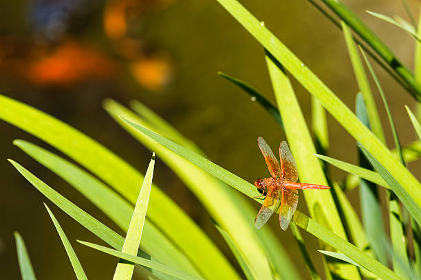 DragonFly Overlooking a Coy Pond stock photo