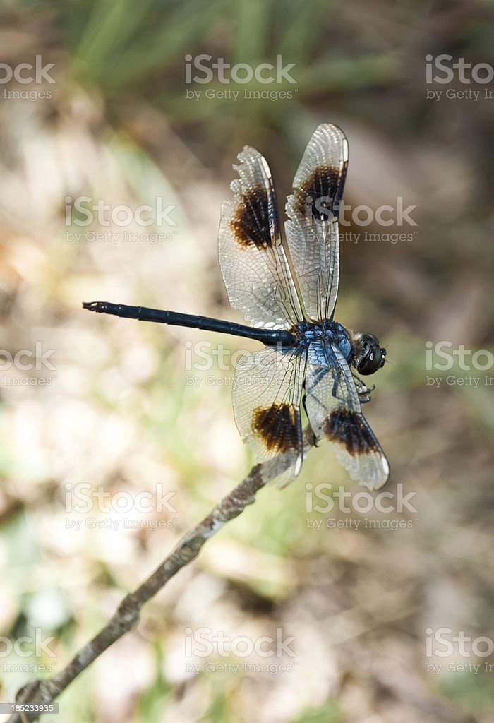 Dragonfly Perch stock photo