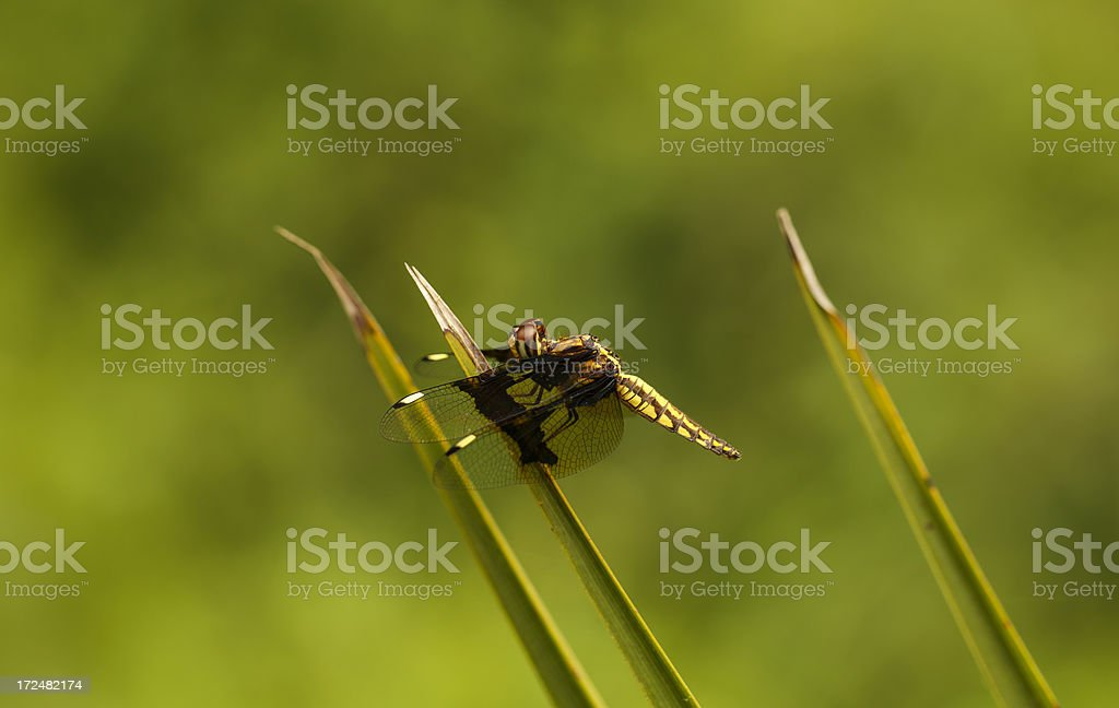 Dragonfly perched on a blade of grass royalty-free stock photo