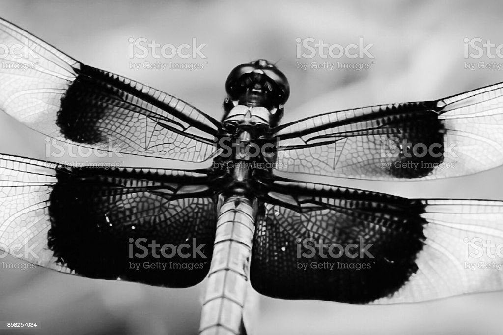 A dragonfly perched on a branch in black and white stock photo