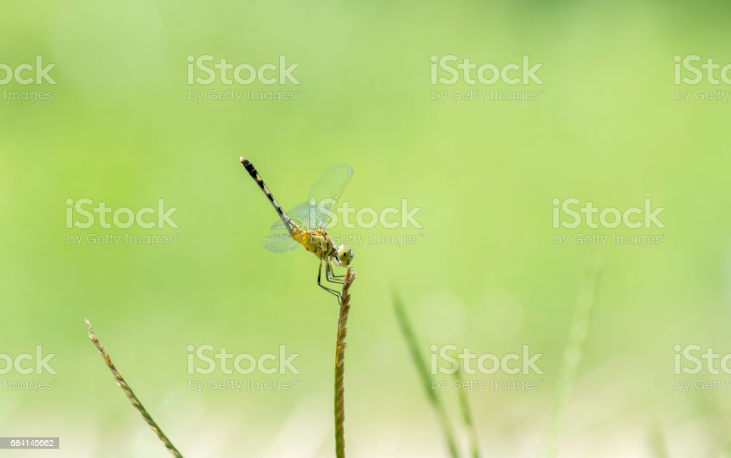 Dragonfly perched on grass foto de stock libre de derechos