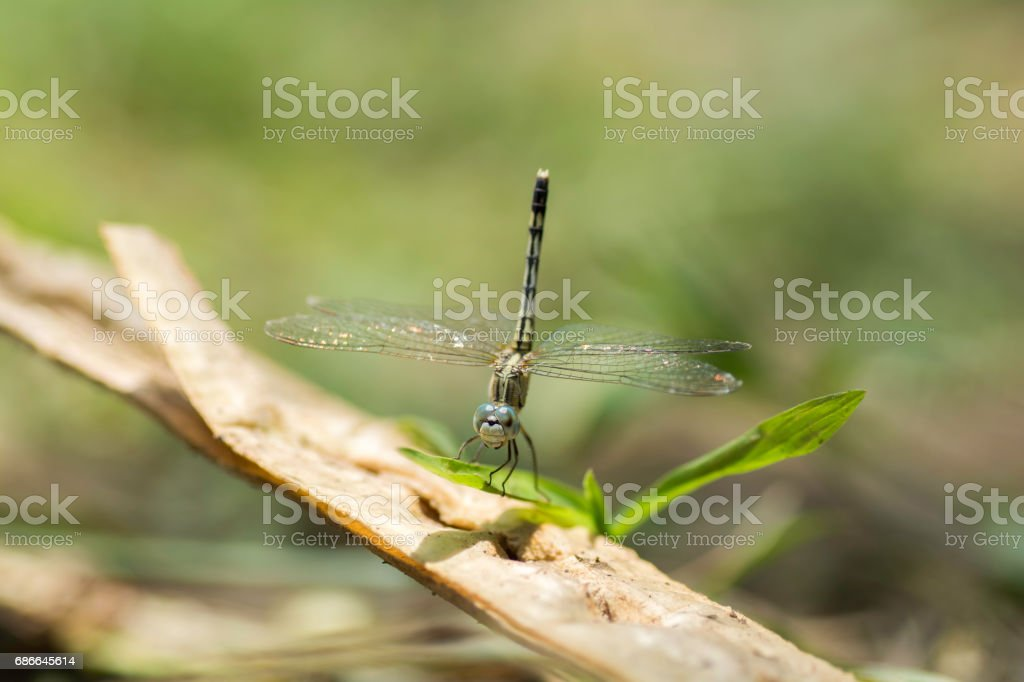 Dragonfly perched on leaves royalty-free stock photo