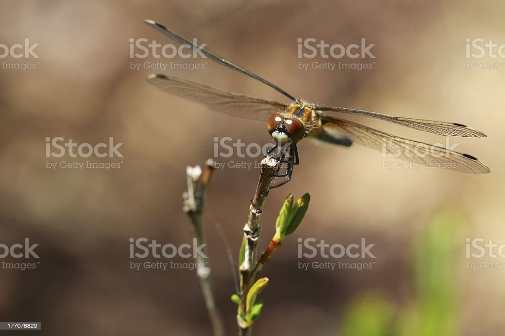 Dragonfly Perched on Tip of Twig stock photo