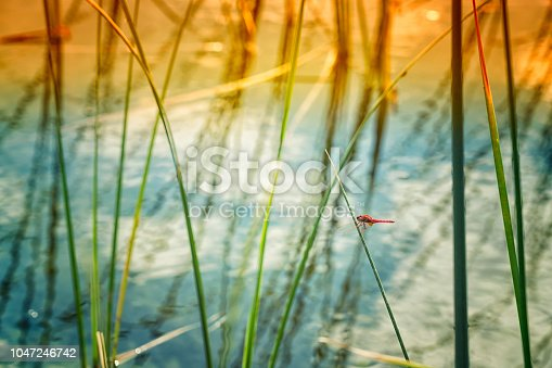 Red dragonfly sitting on reed at sunset.