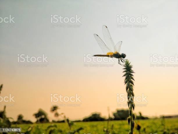 Dragonfly picture id1124743875?b=1&k=6&m=1124743875&s=612x612&h=uv61ostxv7tfjpkt436njiakb7ficwnfmbbplozx0km=