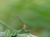 Dragonfly, Banded Demoiselle, Animal, Damselfly, Insect