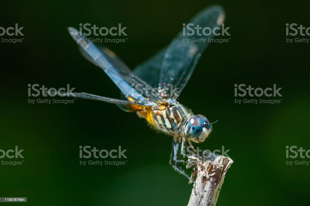 Dragonfly - Royalty-free Animal Stock Photo