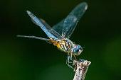 Dragonfly, Massachusetts