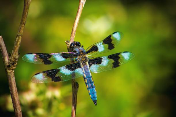 Dragonfly picture id1157987147?b=1&k=6&m=1157987147&s=612x612&w=0&h=ndhvh688sbcgjrqznozlld4fohbulqclxs5o m4q0qo=