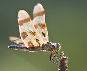 Dragonfly insect wings eyes bug