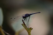 black Dragonfly on wood macro view. Dragonfly profile