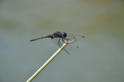 The most Common Dragonfly\nScientific name -Anisoptera