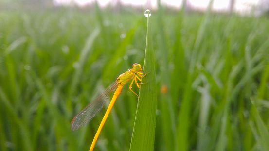 Dragonfly on agriculture feild