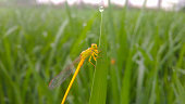 Dragonfly on agriculture feild