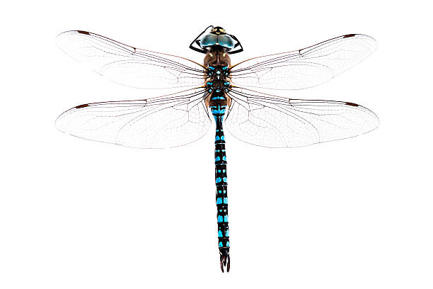 Dragonfly Stock Photos, Pictures & Royalty-Free Images ...