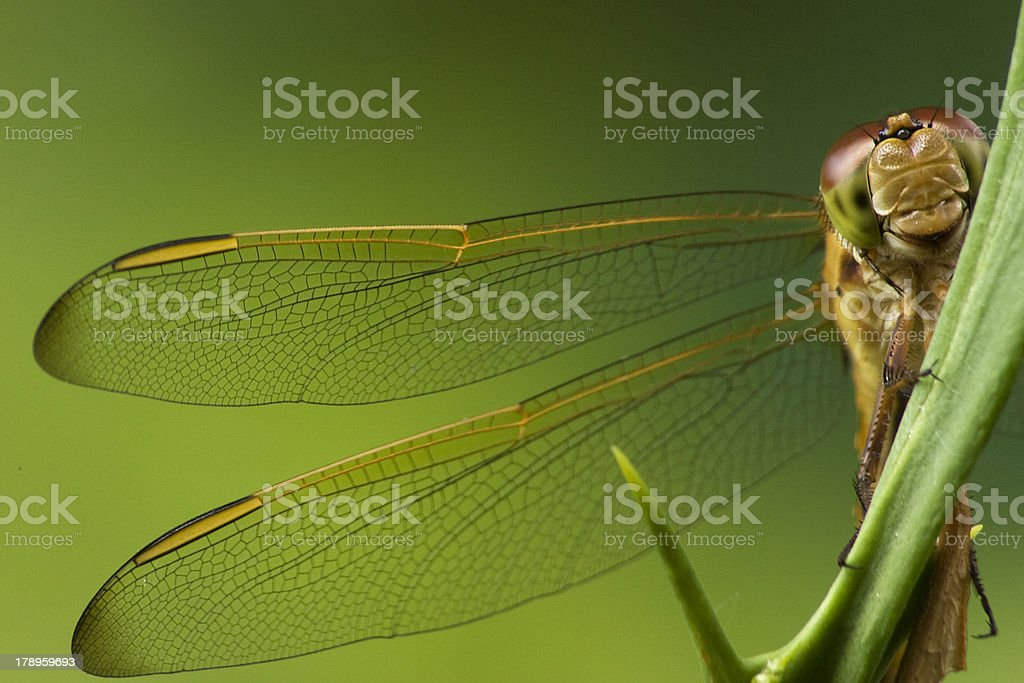 Dragonfly (libellula Depressa) stock photo
