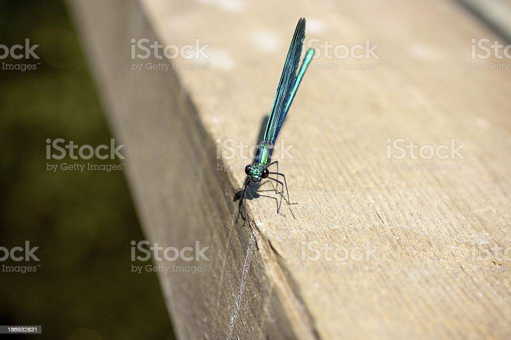 Dragonfly. royalty-free stock photo