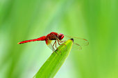 DragonFly sitting on one reed