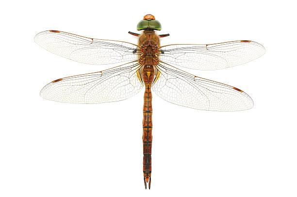Dragonfly picture id511738851?b=1&k=6&m=511738851&s=612x612&w=0&h=bdrvnekp9toxy2xvzpy5nov69ns a7kyokqqdyuh1pq=
