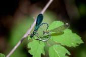 dragonflies mates on a leaf
