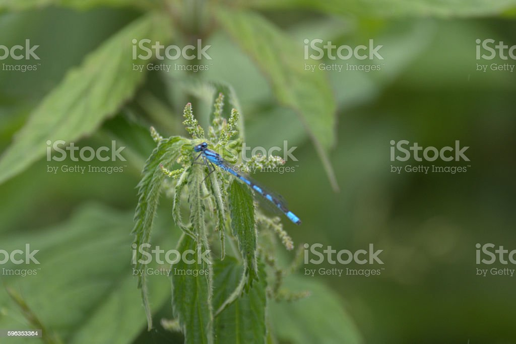 Dragonfly royalty-free stock photo