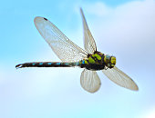 dragonfly in flight close up