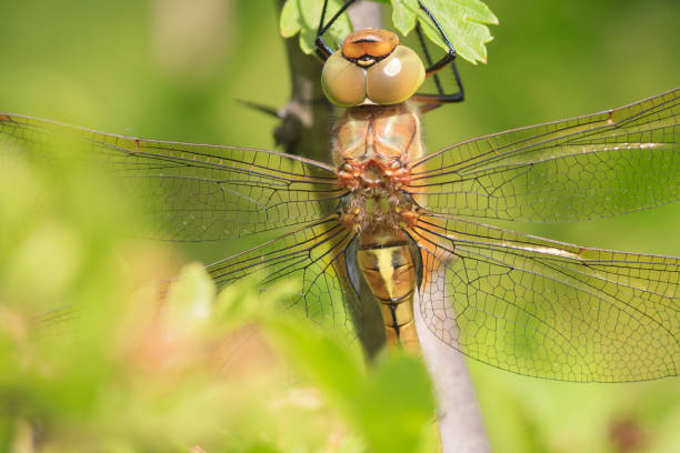 Dragonfly Dragonfly isoptera stock pictures, royalty-free photos & images