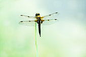 Dragonfly on green leaf on summer. Dragonfly macro photo. Dragonfly leaf view.sunlight