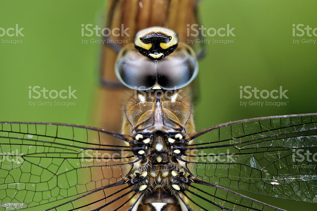 Dragonfly portrait royalty-free stock photo