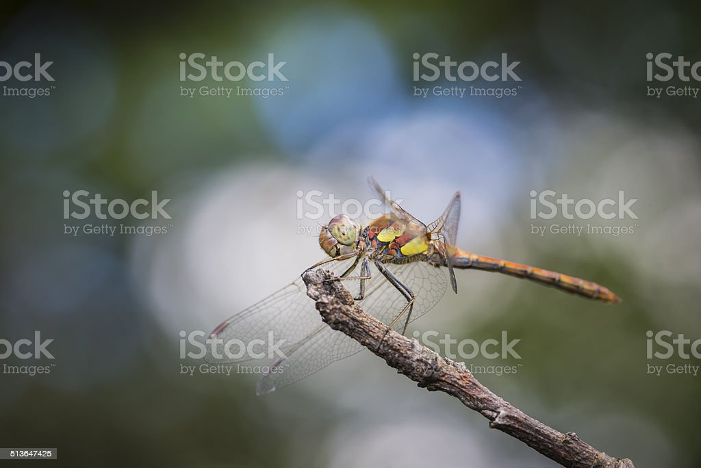 Dragonfly posing on a branch of the tree stock photo