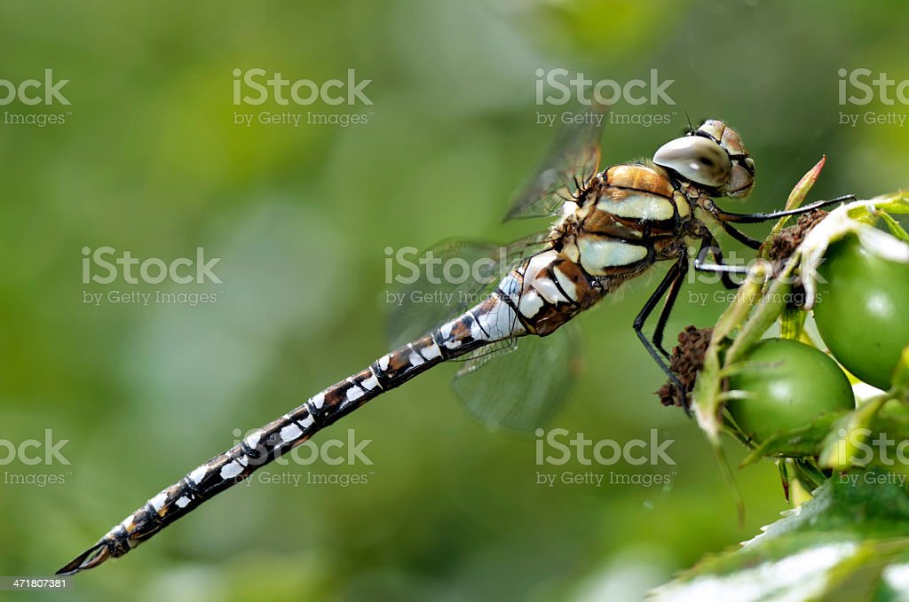 Dragonfly profile royalty-free stock photo