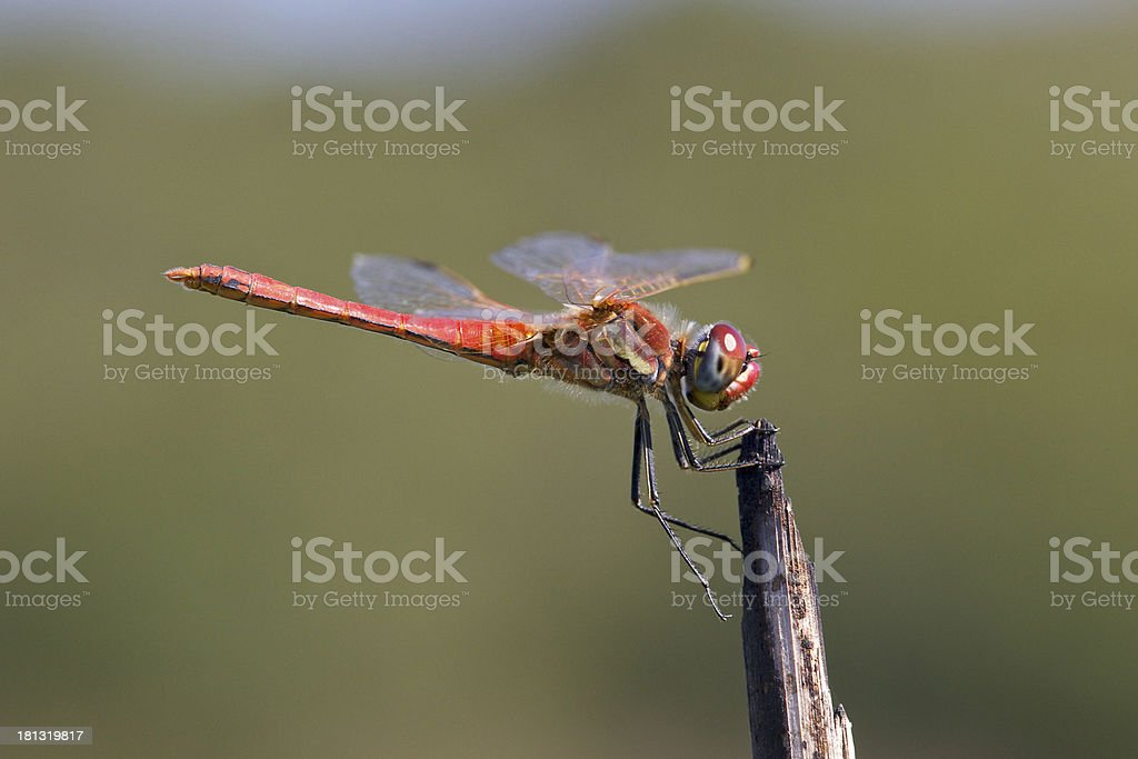 dragonfly reaches the equilibrium position stock photo