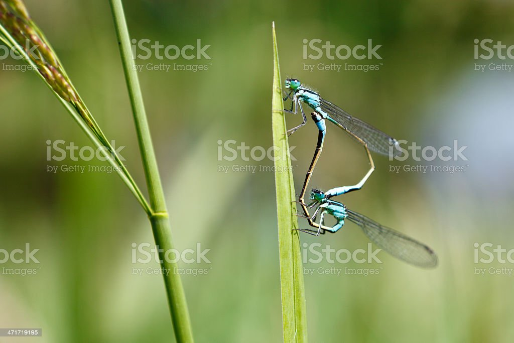 Dragonfly reproducing royalty-free stock photo
