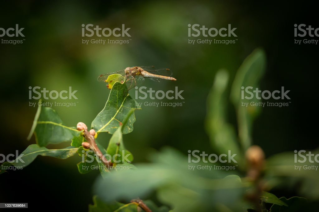 Dragonfly resting in the afternoon sun on a leaf. stock photo