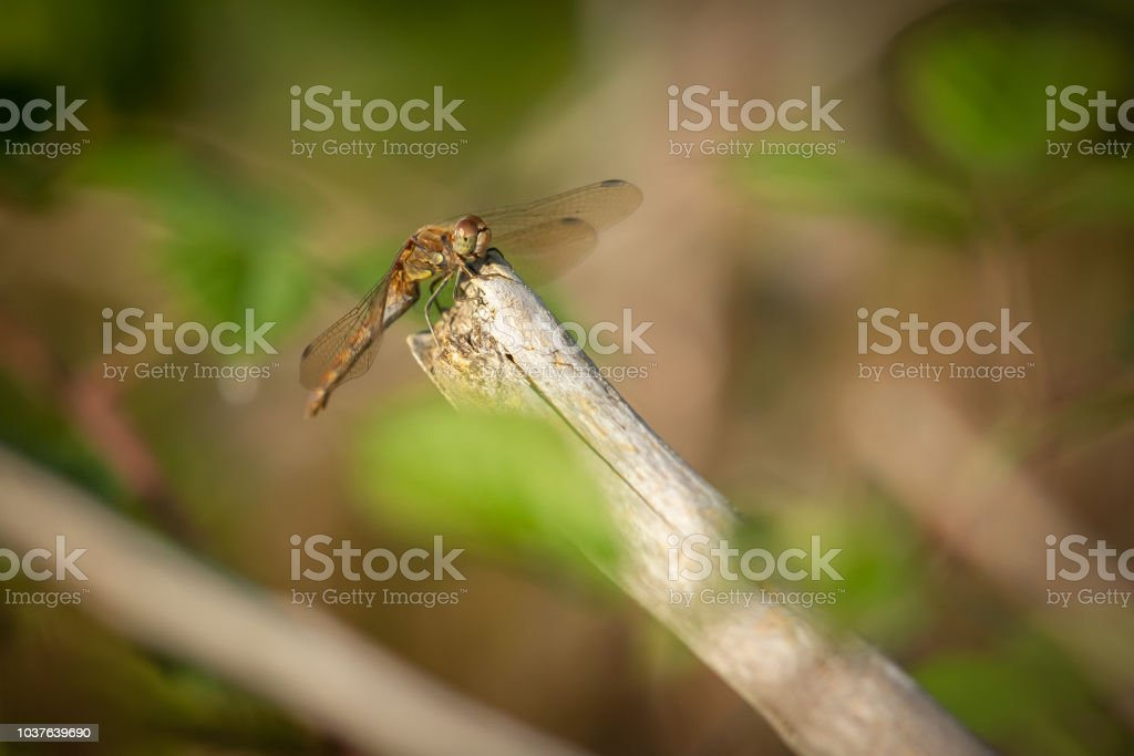 Dragonfly resting in the evening sun on a branch. stock photo