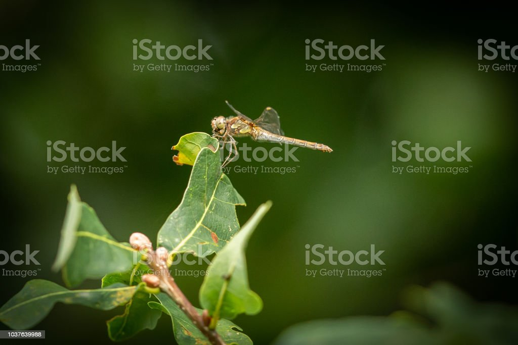 Dragonfly resting in the evening sun. stock photo