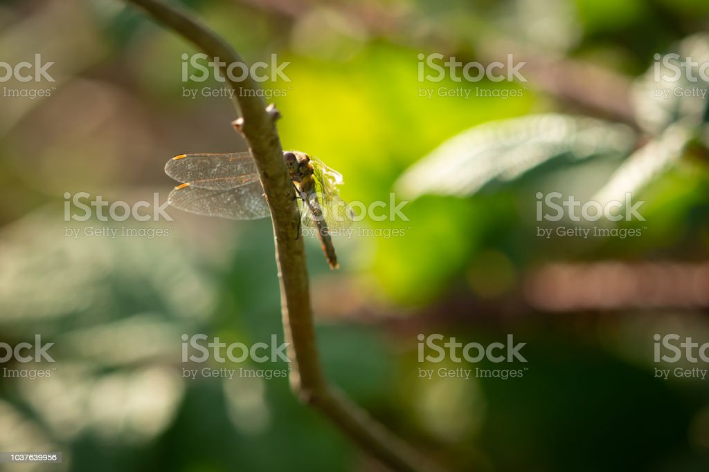 Dragonfly resting in the evening sun wings spread. stock photo
