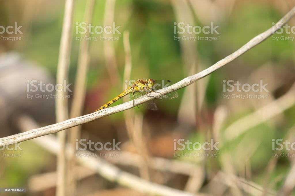 Dragonfly resting in the warm evening sun. stock photo