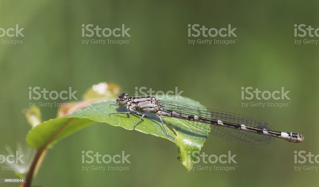 Dragonfly resting - Royalty-free Alberta Stock Photo