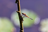 An dragonfly sitting an a branch, blurred background, bokeh