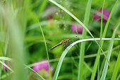 Dragonfly sitting on a blade of grass in a field close-up.