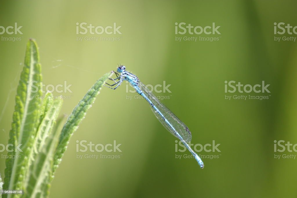 A dragonfly sitting on a leaf - Royalty-free Animal Stock Photo