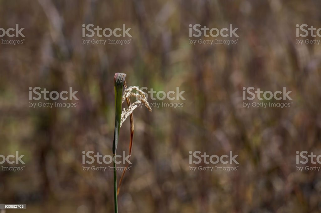 Dragonfly sitting on Brown Rice paddy blooming with  Blurred Brown rice field in background stock photo