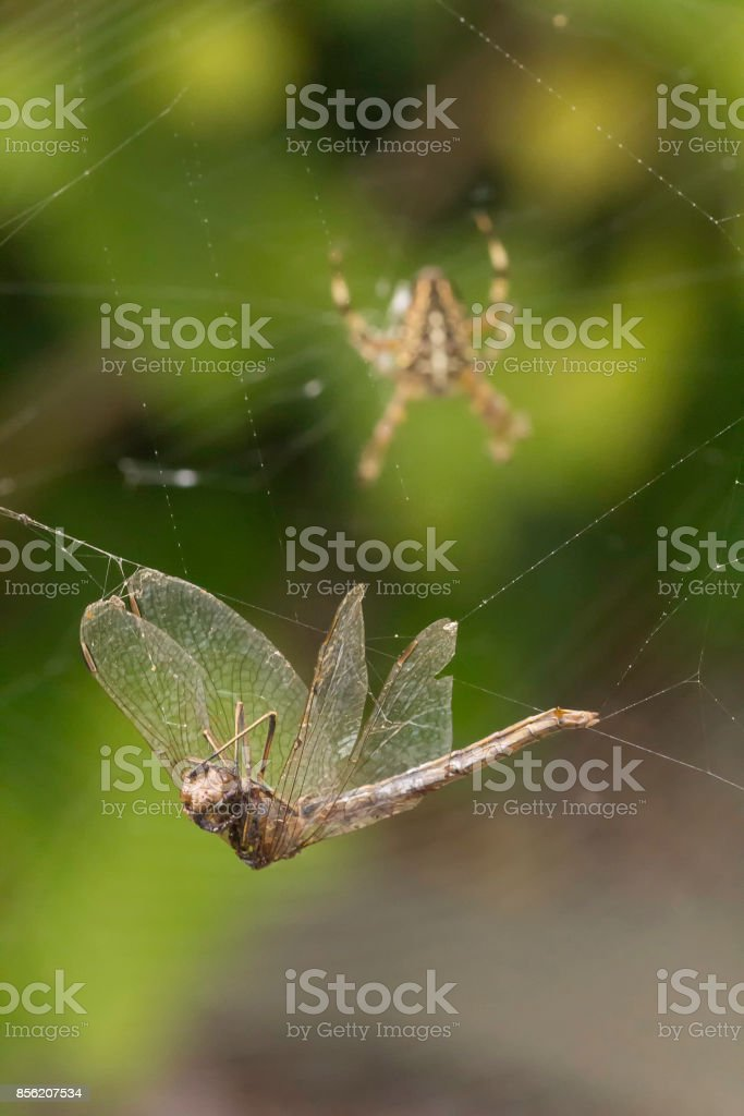 A Dragonfly tangled in the orb-web of a European Garden Spider stock photo