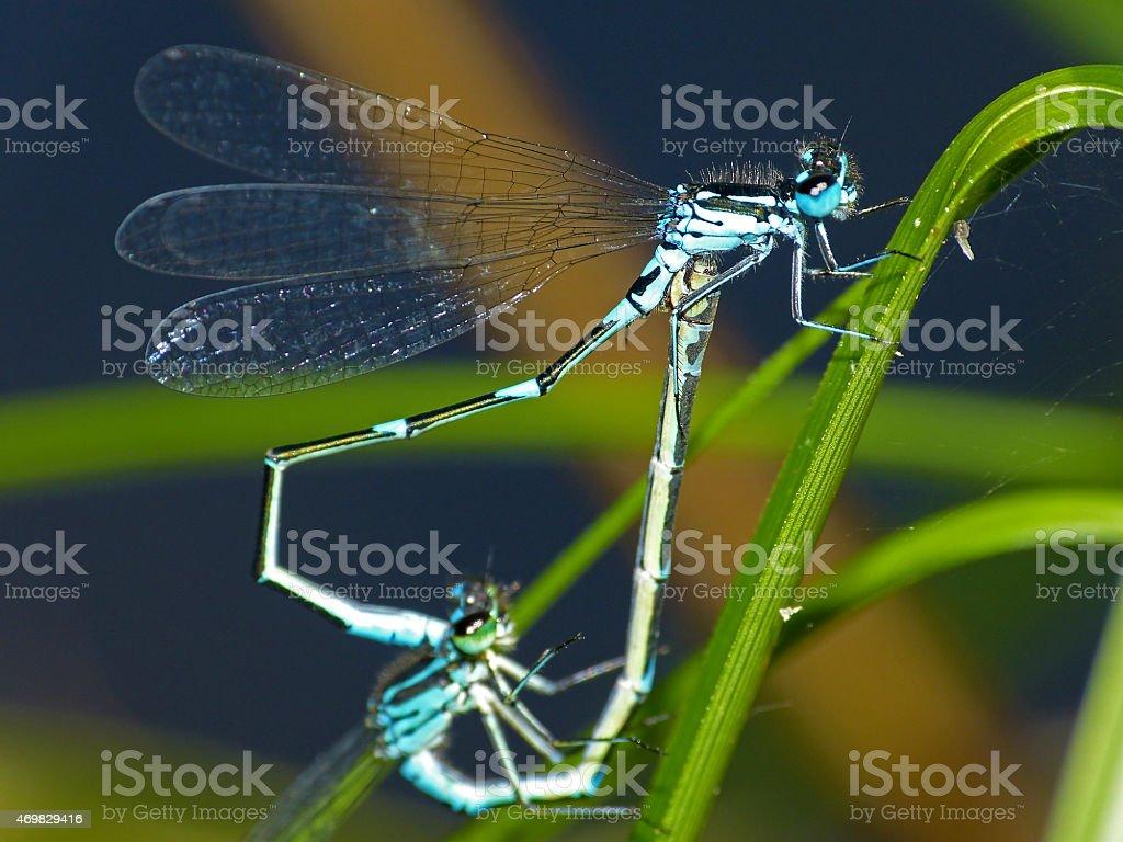 Dragonfly turkish damselfly blue pairing heart-shaped stock photo